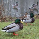 duck density