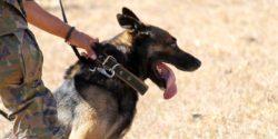 German Shephard dog with a human hand on its collar.