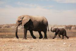 Niassa reserve elephants