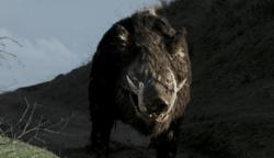 Boar still